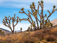 Dry landscape, Joshua Tree succulents, Yucca Palm (Yucca brevifolia), Walker Pass Road, Mojave Desert in Southern California; aka - yucca palm, tree yucca, and palm tree yucca