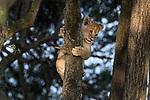 Lion cubs (Panthera leo) (around 10 weeks old) - playing / climbing tree. Woodland on the border of Serengeti / Ngorongoro Conservation Area (NCA) near Ndutu, Tanzania.