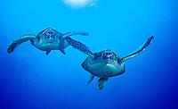 Green Sea Turtles (Chelonia Mydas) Hanauma Bay, Oahu