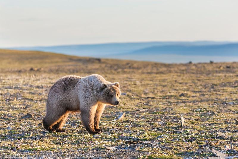 Grizzly bear stands in the midnight sun along Archimedes ridge, Utukok Uplands, National Petroleum Reserve Alaska, Arctic, Alaska.