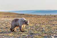Grizzly bear stands in the midnight sun along Archimedes ridge, Utukok Uplands, National Petroleum Reserve Alaska, Arctic, Alaska.