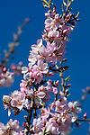 Spain, Costa Blanca, bei El Castell de Guadalest: Almond Blossom   Spanien, Costa Blanca, bei El Castell de Guadalest: Mandelbluete