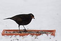 Amsel, Männchen an der Vogelfütterung, Fütterung im Winter bei Schnee, frisst Körner am Boden aus einer Schale, Winterfütterung, Schwarzdrossel, Drossel, Turdus merula, blackbird, Merle noir