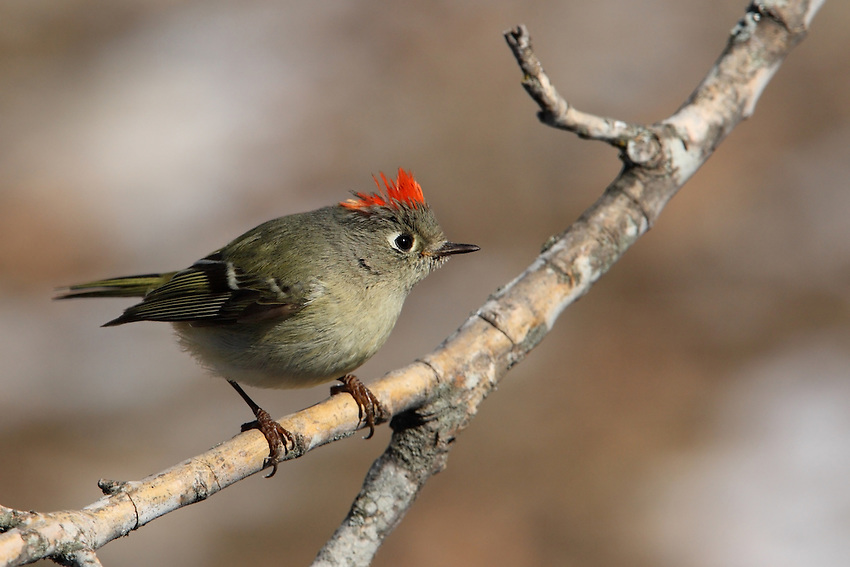 """Ruby-crowned Kinglet in Winter with patches of snow in the background. There's another male just of frame causing the kinglet to raise its """"fiery"""" crown."""