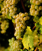 Clusters of SAUVIGNON BLANC glisten in the morning dew at harvest time