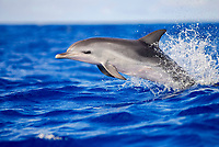 Atlantic spotted dolphin, Stenella frontalis, calf, leaping, Azores, Portugal, Atlantic Ocean
