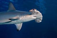 Scalloped hammerhead shark, Sphyrna lewini, Maui, Hawaii, USA, Pacific Ocean