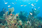 Gardens of the Queen, Cuba; an aggregation of Brown Chromis and Chub fish swimming above a coral reef covered in sea rods, sea fans, sponges and encrusting corals