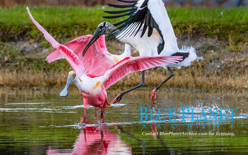 roseate spoonbill, Platalea ajaja, and wood stork, Mycteria americana, fighting, West Palm Beach, Florida, USA