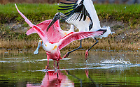 roseate spoonbill, Platalea ajaja, and wood stork, Mycteria americana, fighting, West Palm Beach, Florida, USA