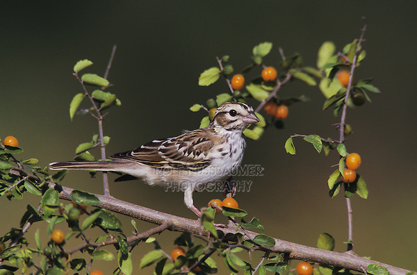 Lark Sparrow, Chondestes grammacus, young on Desert Hackberry (Celtis pallida) , Willacy County, Rio Grande Valley, Texas, USA, June 2004