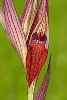 Pflugschar-Zungenstendel, Pflugschar-Zungenständel, Serapias vomeracea, Long Lipped Serapias, Plow-Share Serapias, Ploughshare orchid, Le sérapias à labelle allongé