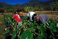 Working in the kalo loi (taro pond) at Kaala Farms, a Hawaiian culture learning center in Waianae