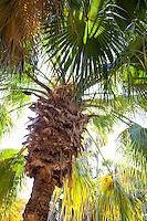 Cabbage Palm, Livistonia australis backlit in California garden; Arecaceae monocot plant family
