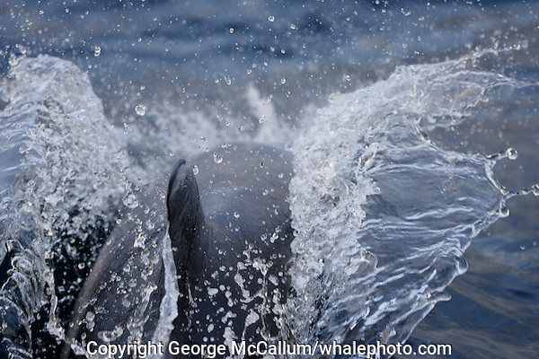 White beaked Dolphin Lagenorhynchus albirostris breaking surface at speed to breath. Spitzbergen, Arctic Norway