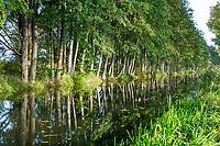 Erlen am Fluss Nuthe, Trebbin, Teltow-Fläming, Brandenburg, Deutschland