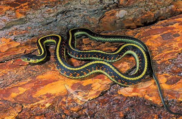 RED-SIDED GARTER SNAKE..Kelowna, B.C. Canada..Thamnophis sirtalis parietalis.