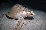 Kemps Ridley Sea Turtle sitting on sand bottom
