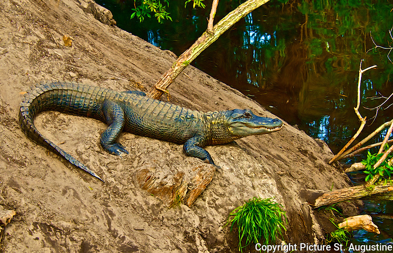 Photograph of American Alligator sunning on a bank in St. Augustine, Florida.