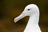 Royal Albatross (Diomedea epomophora epomophora), Southern subspecies on it's breeding grounds on Enderby Island in the Aukland Islands, New Zealand.