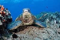 Green sea turtles, Chelonia mydas, an endangered species. Maui, Hawaii, USA, Pacific Ocean