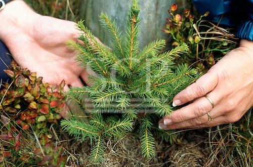 Cerna Hora, Czech Republic. Two hands and a tiny fir tree seedling.