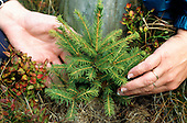 Cerna Hora, Czech Republic. Two hands and a tiny fir tree seedling.