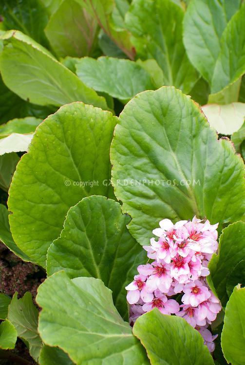 Bergenia in flower