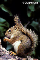 MA07-032b  Red Squirrel - sitting by tree cavity, eating seeds - Tamiasciurus hudsonicus