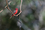 A male vermillion flycatcher (Pyrocephalus ribinus) perched on a hanging vine. Backwater of the Cuiaba River, northern Pantanal, Mato Grosso, Brazil.