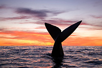 Tail of southern right whale, Eubalaena australis at sunset, Conservation Dependant (IUCN), UNESCO Natural World Heritage Site, Golfo Nuevo, Peninsula Valdes, Chubut, Patagonia, Argentina, Atlantic Ocean