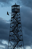Turkey Vulture (Cathartes aura) roost on tower. Malheur National Wildlife Refuge, Oregon. April.