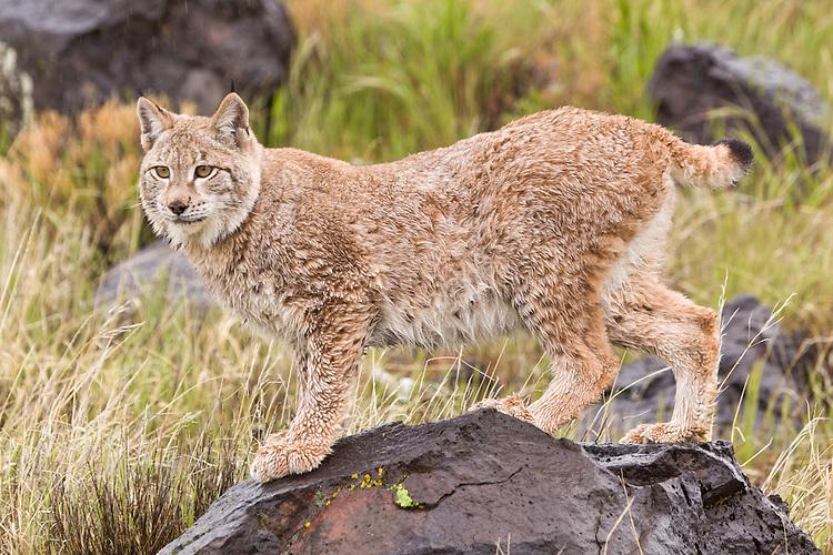 Damp Siberian Lynx standing on a wet rock - CA