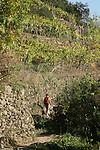vignes sur le sentier reliant Monterosso et Vernazza. Parc national des Cinque Terre. Ligurie. Italie.