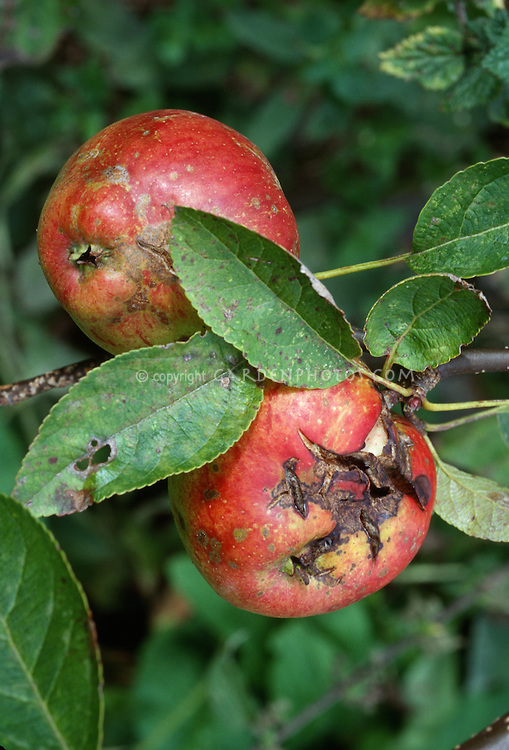 Apple scab disease on Malus domestica apples fruits