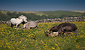 11/06/15<br /> <br /> Necking horses get frisky in the warm sunshine lying amongst the buttercups on Monsal Dale near Bakewell in the Derbyshire, Peak District National Park.<br /> <br /> All Rights Reserved: F Stop Press Ltd. +44(0)1335 418629   www.fstoppress.com.