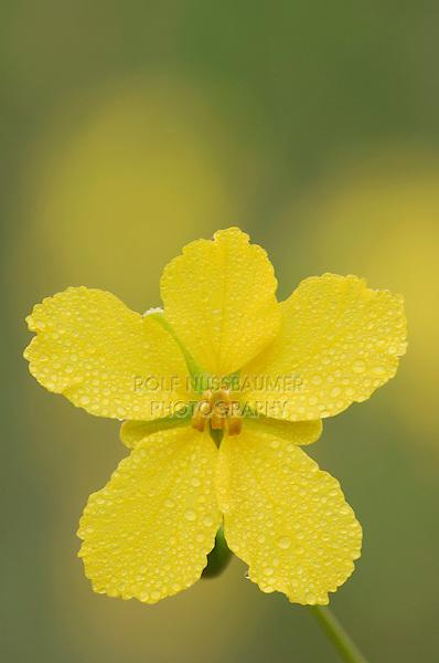 Two-leaved Senna, Senna roemeriana, blossom with dew drops, Uvalde County, Hill Country, Texas, USA