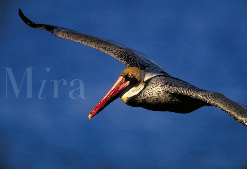Brown Pelican in flight. Birds in flight. California.