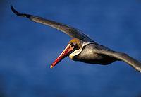 Brown Pelican in flight. Birds in flight. California.