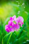 Deutschland: Breitblaettrige Platterbse (Lathyrus latifolius), auch Breitblatt-Platterbse oder Bukettwicke genannt | Germany: Lathyrus latifolius, also named Everlasting Pea, Perennial Pea, Hardy Sweet Pea