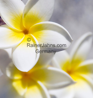 Spain, La Palma Island, Plumeria, common name Frangipani, petals