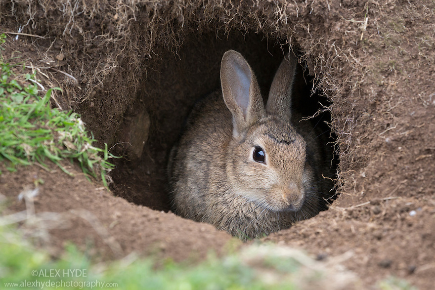 European Wild Rabbit {Oryctolagus cuniculus} in its burrow, Isle of Lunga, Treshnish Isles, Scotland, June.