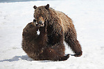 Grizzly Bear 399 and cubs wrestling and playing in the snow at Oxbow Bend in Grand Teton National Park.Two grizzly bear cubs wrestle in the soft snow in Grand Teton National Park, Wyoming.