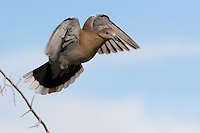 White-winged Dove as it leaves the roost..