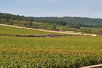 """Vineyard. Chevalier Montrachet in the back. """"Le Montrachet"""" Grand Cru, Puligny Montrachet, Cote de Beaune, d'Or, Burgundy, France"""