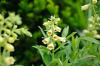 Digitalis grandiflora 'Carilon'