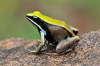 Green Mantella (Mantella viridis),adult, Montagne des Franais Reserve Antsiranana, Northern Madagascar, Africa