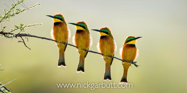 Little Bee-Eaters (Merops pusillus). Seronera Valley, Serenegeti National Park, Tanzania.