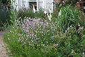 Nicotiana, Geraniums and Foxgloves, Fairlight End, Pett, East Sussex, late June.