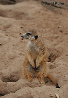0214-08ww  Standing Meerkat on Lookout, Suricata suricatta © David Kuhn/Dwight Kuhn Photography
